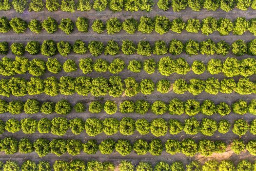 aerial view of a fruit trees plantation, green field background agricultural industry aerial view