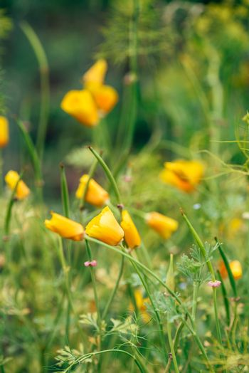 California Poppies on a Meadow.