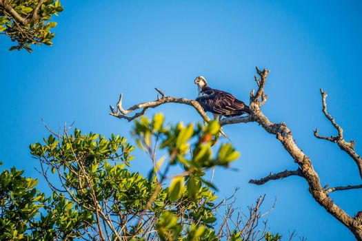 A sea hawk on top of a tree looking for a prey in the national park