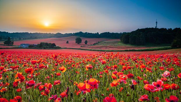 Beautiful Poppy Field at Brewdley, West Midlands at Dawn