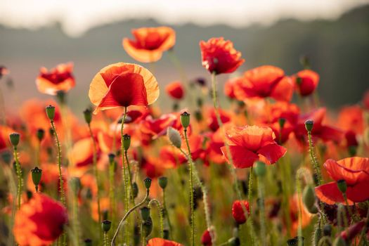 Close Up View of Poppy Flowers at Dawn