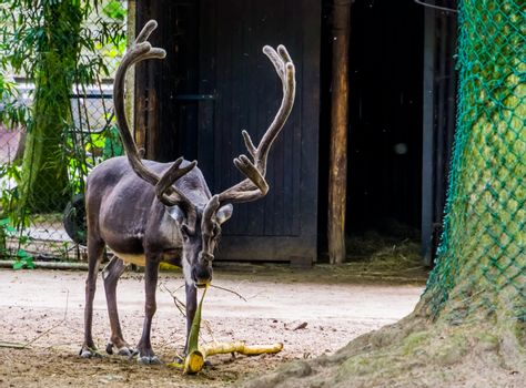 Reindeer with huge antlers stripping a tree branch, popular animal specie from Europe and America, Vulnerable animal species