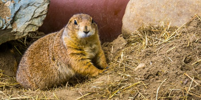 closeup of a black tailed prairie dog, cute and popular pet, Tropical rodent from America