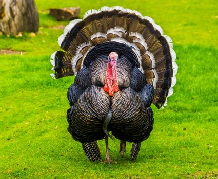 beautiful portrait of a domestic turkey spreading its feathers, popular ornamental bird specie, animal farm pet from Mexico and Europe