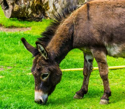 closeup of a miniature donkey grazing in the pasture, popular farm animal specie