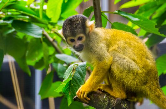 closeup of a common squirrel monkey sitting in a tree, cute small primate specie from America