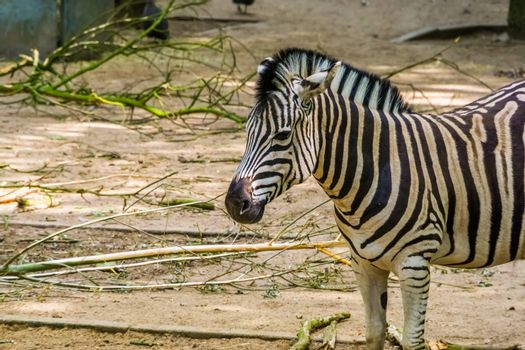 Burchells zebra with its face in closeup, common tropical horse specie from Africa