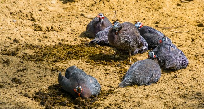 family of helmeted guineafowl birds sitting together in the sand, tropical bird specie from Africa