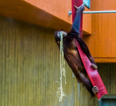 Bornean orangutan climbing in a rope, typical animal behaviors, critically endangered animal specie from Asia