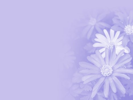 Flowers of Italian Asters, Michaelmas Daisy  made as abstract flower background illustration.