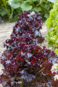 Lettuce Merlot Burpee grows