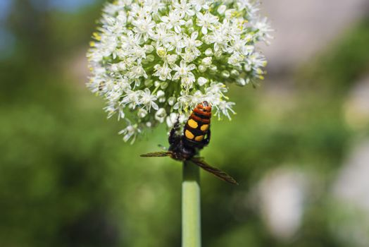 Scola lat. Megascolia maculata lat. Scolia maculata is a species of large wasps from the family of scaly .Megascolia maculata. The mammoth wasp. Scola giant wasp on a onion flower.