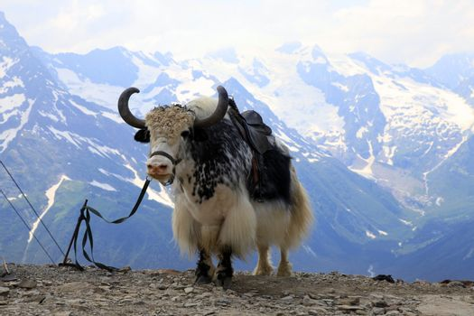 Yak in the mountains of Dombai in Karachay-Cherkessia