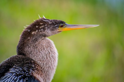 A portrait shot of a large American Darter looking afar in the national park