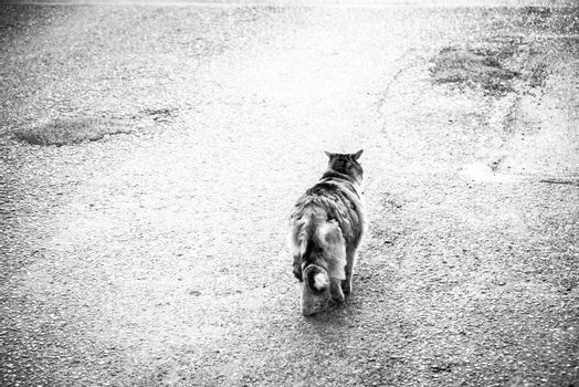 Stray cat is walking alone on the street searches for home, hopes to find a lovely, warm family an food