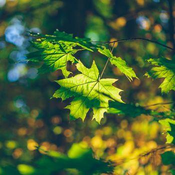 Green maple foliage