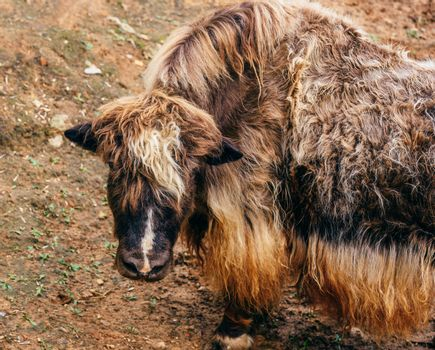 Young furry yak without horns.