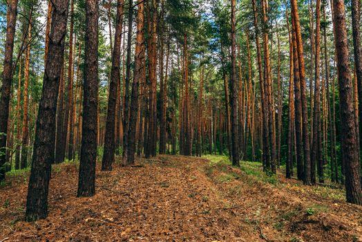 Dirt road in pine wood.