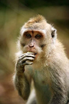 Portrait of the sad monkey. Forest of monkeys in Bali. Indonesia.