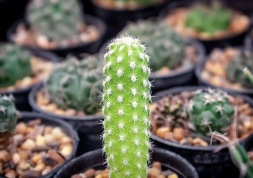 Baby Echinopsis Cactus in Gravel Pot