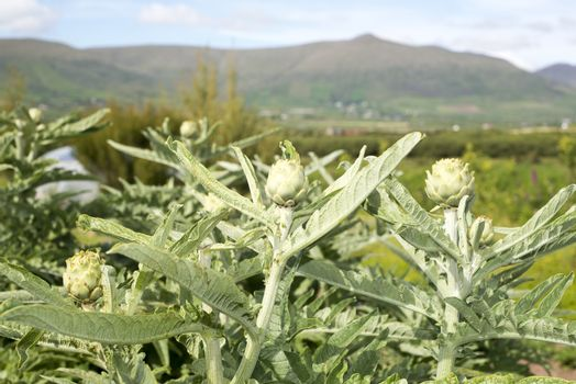 organic artichokes in dingle ireland on the wild atlantic way