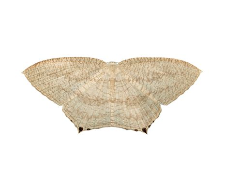 Image of Pointed flatwings butterfly(Micronia aculeata) isolated