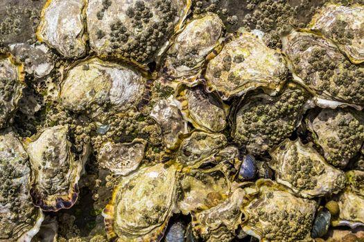 pattern of oyster shells on a rock, Beach background, seashells of molluscs