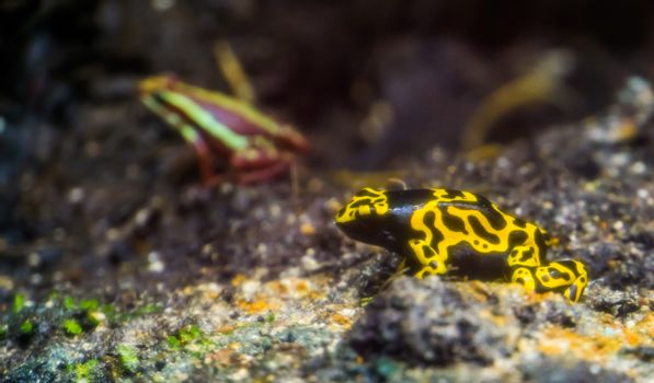 closeup of a yellow banded poison dart frog, tropical amphibian specie from the rainforest of America