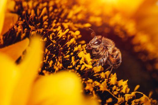 Little bee on sunflower