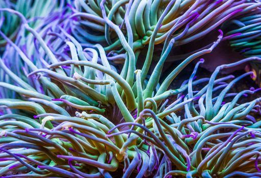 macro closeup of the tentacles of a Mediterranean snakelocks sea anemone, common tropical invertebrate specie, marine life background