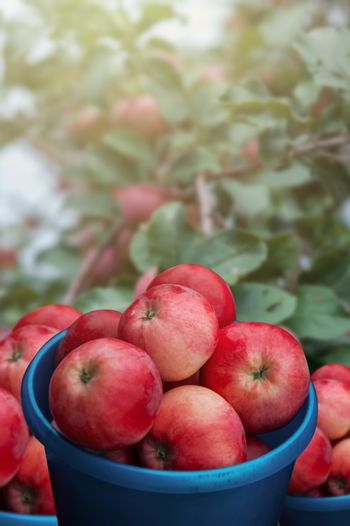 A bucket of freshly picked apples in the garden on apple trees background