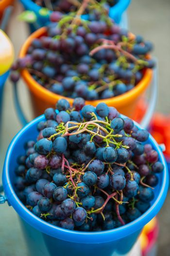 A bucket of freshly picked organic grapes. Harvest concept