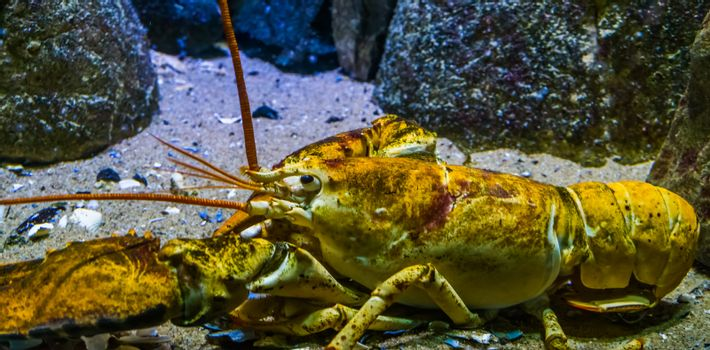 closeup of a american lobster, tropical crustacean specie from the atlantic ocean