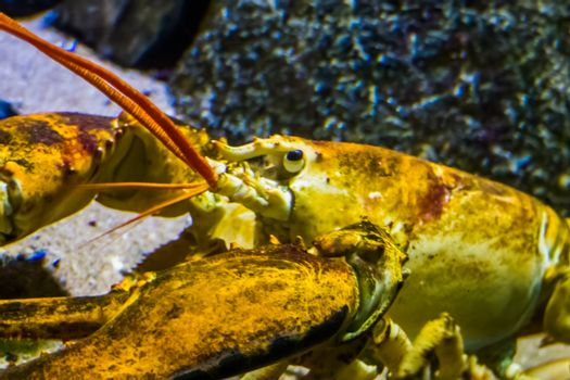 closeup of the face of a american lobster, tropical crustacean specie from the atlantic ocean