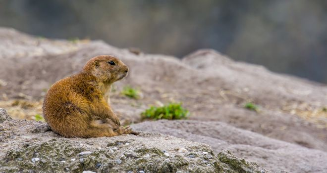 funny closeup of a black tailed prairie dog sitting on its behind, common rodent specie from America