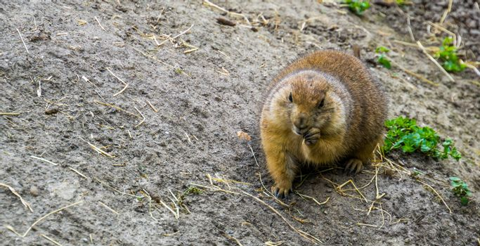 black tailed prairie dog eating hay, adorable closeup portrait, tropical rodent specie from America