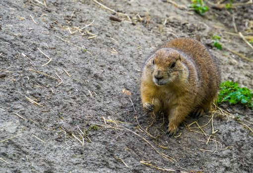 closeup portrait of a black tailed prairie dog eating hay, Adorable rodent specie from America