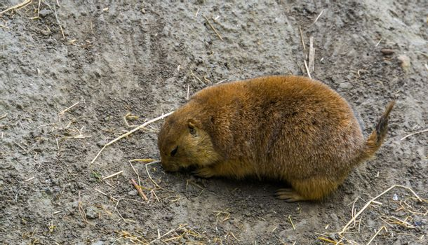 closeup of a black tailed prairie dog, tropical rodent specie from America