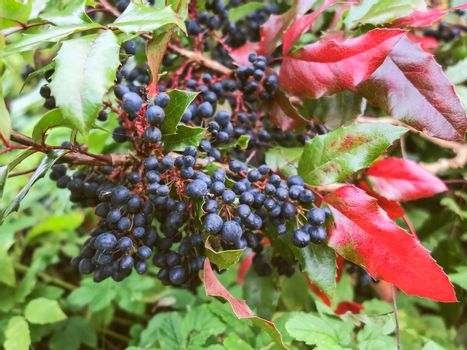 Bush of mahonia with leaves and berries