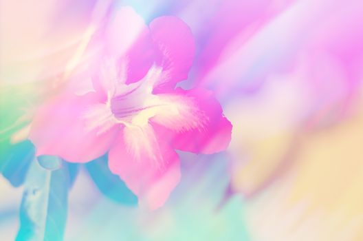 Desert rose or Ping Bignonia for background design concept