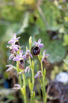 Wild flowers macro ophrys arachnitiformis orchidaceae fifty megapixels printables art