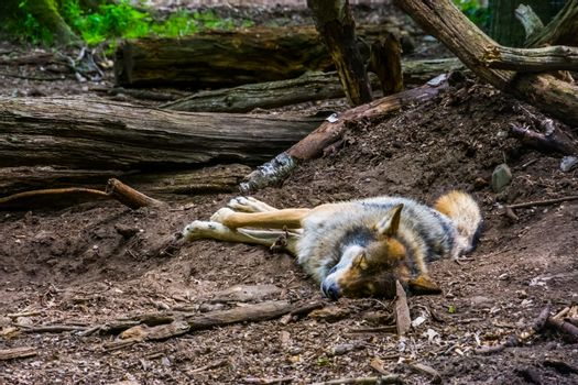 closeup of a grey wold sleeping on the ground in the forest, carnivorous animal specie the woodlands of Eurasia