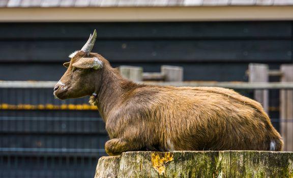 closeup of a brown west african dwarf goat sitting on a tree stump, popular wild goat specie, Farm animals