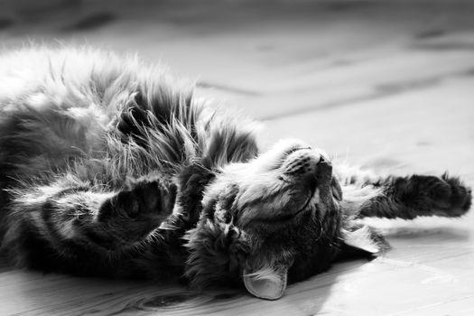 sleeping big cat. photo. black and white