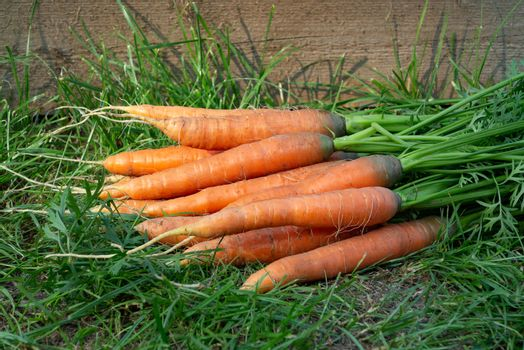 Bunch of fresh carrots with tops on the grass next to the garden bed