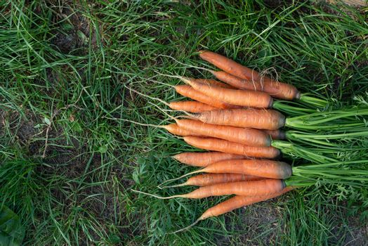 Bunch of fresh carrots with tops on the grass next to the garden bed, top veiw, copy space
