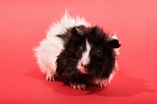 A close up shot of a cute guinea pig on red background.