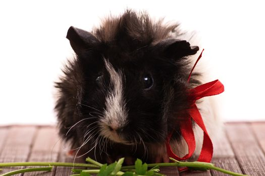 A close up shot of a cute guinea pig eating parsley, isolated on white background.