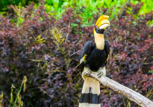 great indian hornbill sitting on a tree branch, beautiful tropical bird, Vulnerable animal specie from Asia