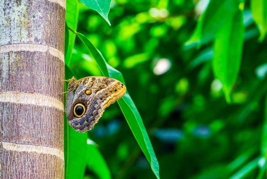 forest giant owl butterfly sitting on a tree trunk, colorful and tropical specie from America